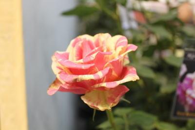 roseshow06