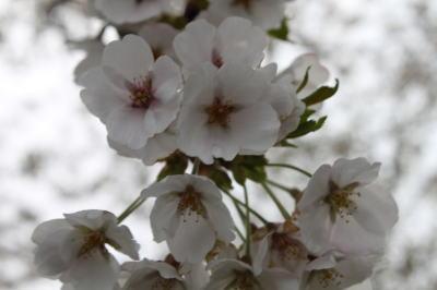 sakura-shiwa01