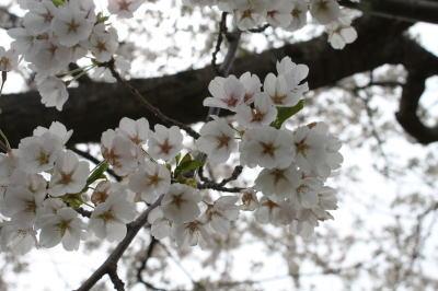 sakura-shiwa07