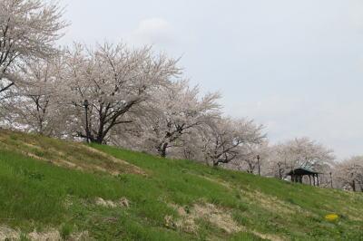 sakura-shiwa06