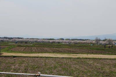 sakura-shiwa02