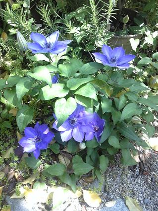 実家のクレマチス(紫)