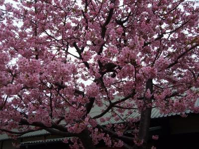 チョット色が濃いかな?早咲きの河津桜