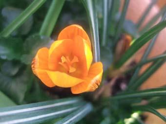 クロッカス オレンジ