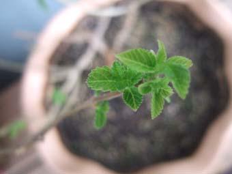 ランタナの葉芽
