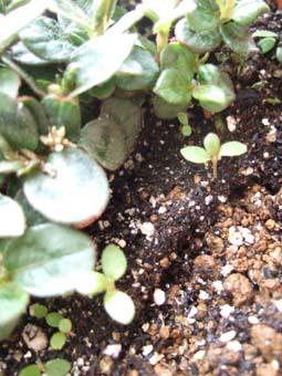 ヒメツルソバのちっちゃな芽
