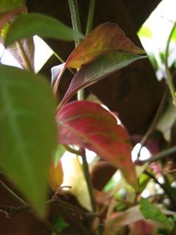 ヘンリーヅタの紅葉