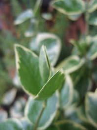ツルニチニチソウの新芽