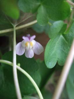 コロセウムアイビーお花