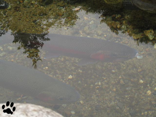 白川郷の魚