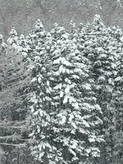 天然クリスマスツリー