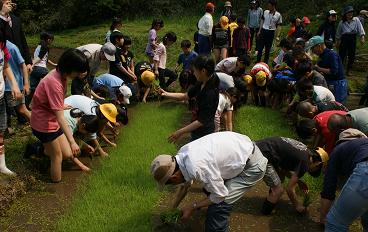 まずは、稲の苗のとりから始まります