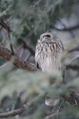Y公園_コミミズクa_120226