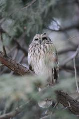 Y公園_コミミズクb_120226