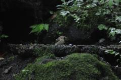 山中湖_キビタキ♀b_110809