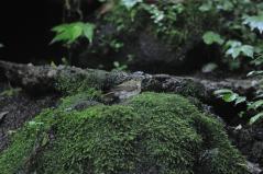 山中湖_キビタキ♀g_110809
