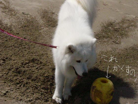 砂地は掘りやすい