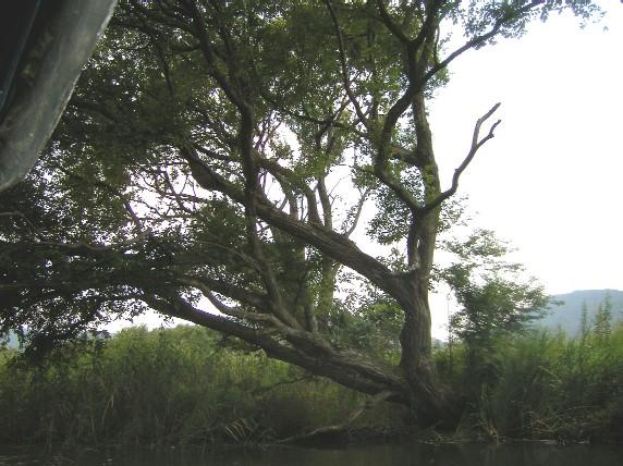 水郷めぐりで観かけた見覚えある木