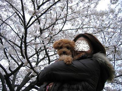 ママと桜の下で