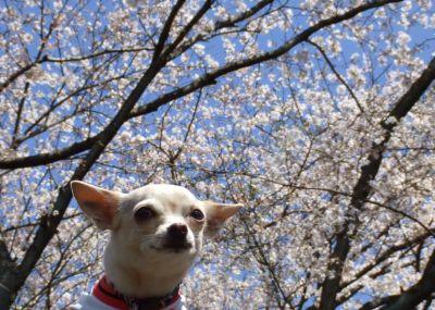 くりと桜2