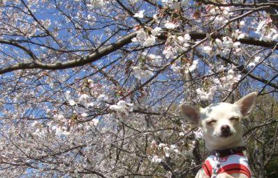 桜とくり1