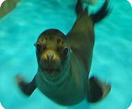 sealion_pulin.jpg