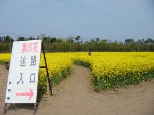 菜の花迷路