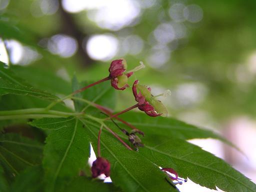 楓の種の赤ちゃん