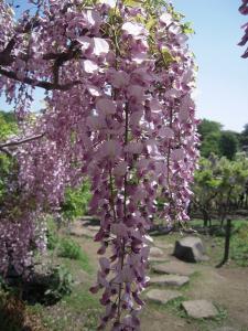 08日 横須賀しょうぶ園