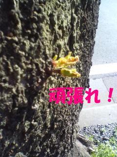 がんばれ桜!
