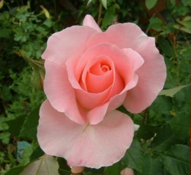 buraitaru-pink02.jpg