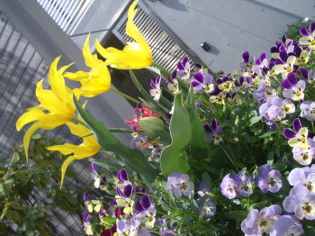 190415_tulip3.jpg