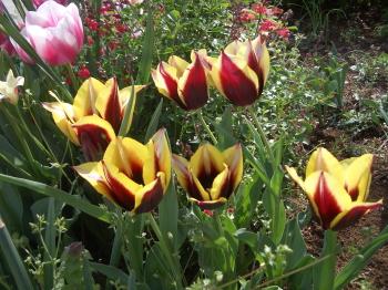 190415_tulip5.jpg
