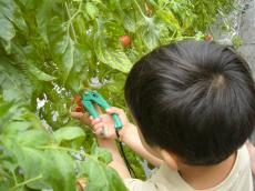 マザー牧場 トマト
