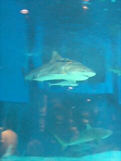 サメとコバンザメ