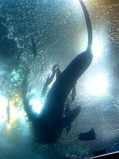 サメ 下から