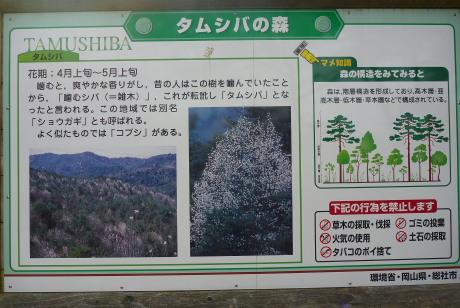 タムシバの森