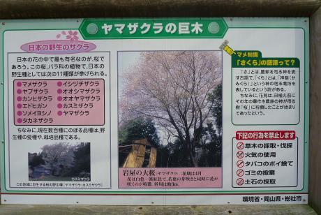 大桜の案内板
