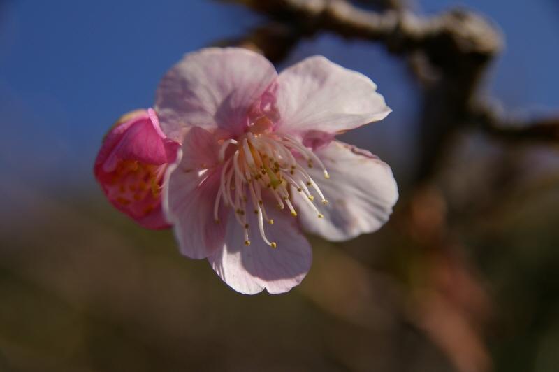 宮 川公園2月に咲くソメイヨシノ