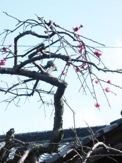老木の上枝数輪の梅紅し②