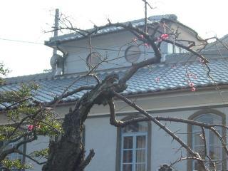 老木の上枝数輪の梅紅し③