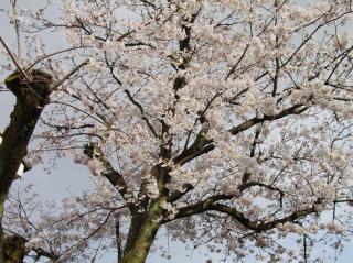 H18.4.5小林の桜