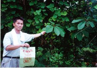 1992朴(ほう)の葉