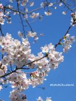2007/04/03桜
