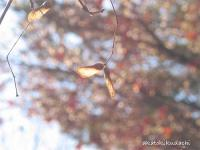 2007/12/10紅葉の実