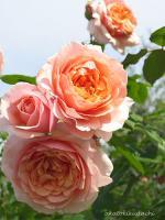 花フェス ギオーのバラ