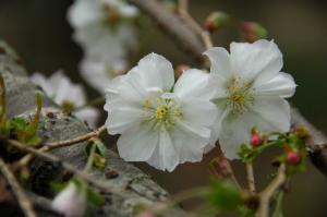 2十月桜 07.10.070001