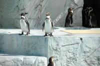11フンボルトペンギン