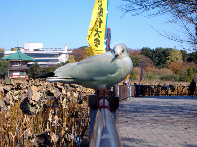 sinobazu_yurikamome.jpg