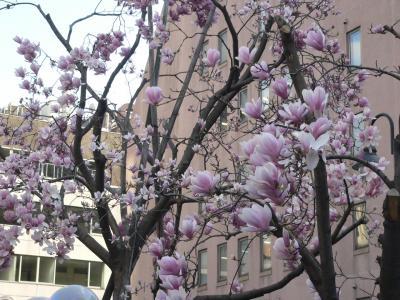 写真キャプション=東京で見つけたピンク色のこぶしの花